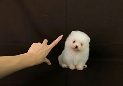 Pomeranian PUPPY FOR SALE ADN-105427 - HIGHEST CLASS Mini Pomeranian for NY LA SF SEA CHI