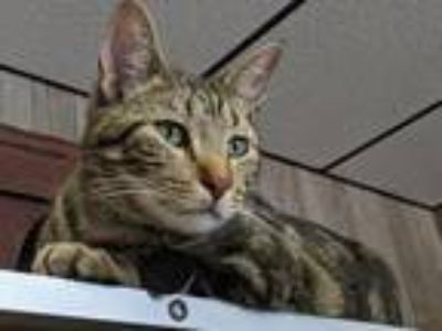 Adopt Vinnie a Brown Tabby Domestic Shorthair / Mixed (short coat) cat in