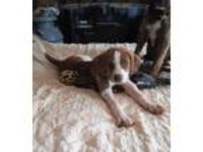 Adopt Kelly a Cattle Dog, Boxer