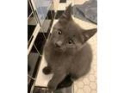 Adopt Ender a Russian Blue, Domestic Short Hair