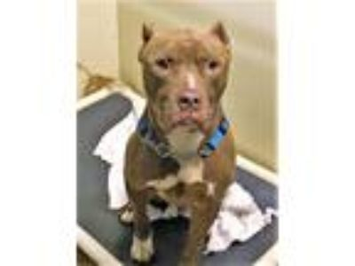 Adopt Bane a Pit Bull Terrier / Mastiff / Mixed dog in Columbia Station