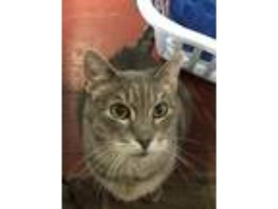 Adopt Finnigan a Gray, Blue or Silver Tabby Domestic Shorthair / Mixed cat in