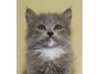 Adopt Daisy a Maine Coon, Domestic Long Hair