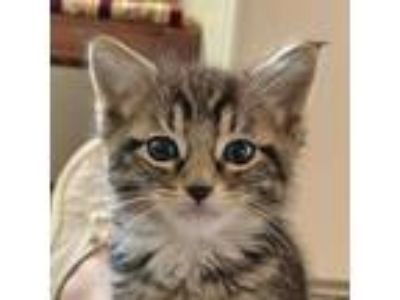 Adopt Hop a Brown or Chocolate (Mostly) Domestic Shorthair (short coat) cat in
