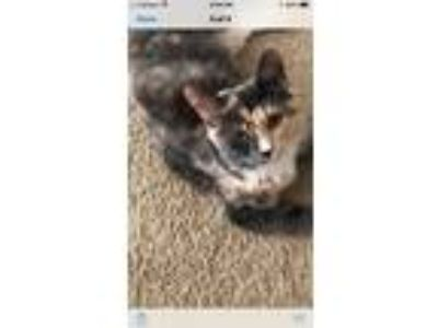 Adopt Maxine a Domestic Medium Hair, Calico