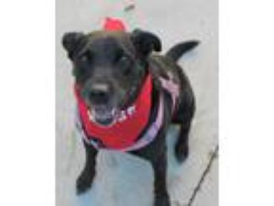 Adopt Mickey a Black Labrador Retriever / Mixed dog in Saranac Lake