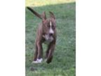 Adopt Victoria a Husky, American Staffordshire Terrier