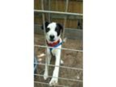 Adopt BabyGirl a Black - with White Border Collie / Mixed dog in Augusta