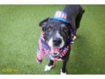 Adopt a Black - with White German Shorthaired Pointer / Mixed dog in West Palm