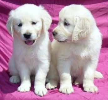 AKC Golden Retriever Puppies Males & Females
