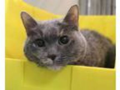 Adopt Janet a Gray or Blue Domestic Shorthair / Domestic Shorthair / Mixed cat