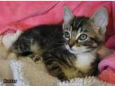 Adopt Kinsey a Gray, Blue or Silver Tabby Domestic Shorthair (short coat) cat in