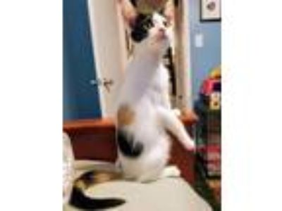Adopt Margaret Brown a Calico or Dilute Calico Domestic Shorthair (short coat)