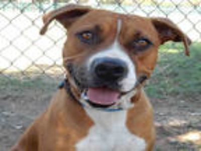 Adopt ARLO a Brown/Chocolate Boxer / Mixed dog in Upland, CA (25583702)