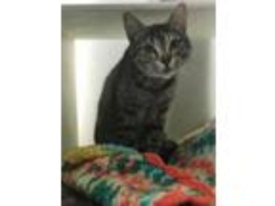 Adopt Willow 414-19 a Domestic Short Hair