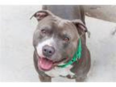 Adopt Reginald a American Pit Bull Terrier / Mixed dog in San Diego