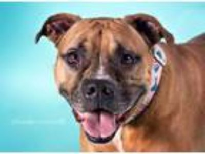 Adopt Fergie Ferg a American Staffordshire Terrier, Boxer