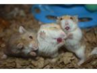 Adopt The Charmed Girls a Hamster (short coat) small animal in Pine Bush