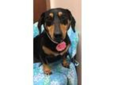 Adopt Roxy a Black - with Tan, Yellow or Fawn Dachshund / Mixed dog in Weston