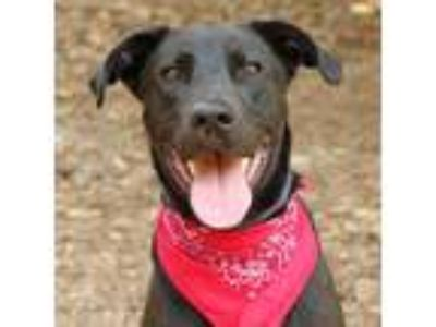 Adopt Cooper a Labrador Retriever / Mixed dog in Raleigh, NC (25340753)
