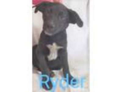 Adopt Ryder a Black Labrador Retriever / Mixed dog in Bloomingdale