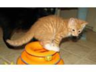 Adopt Bao Bao (baby boy) a Orange or Red (Mostly) Domestic Shorthair / Mixed