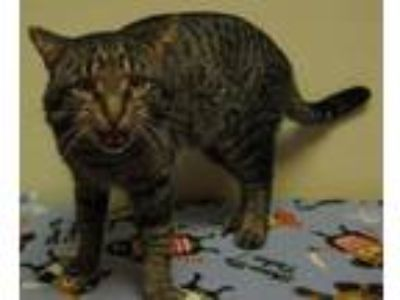 Adopt Ronny a Domestic Short Hair