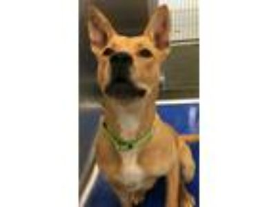 Adopt Bubbles a American Pit Bull Terrier / Labrador Retriever / Mixed dog in