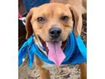 Adopt Blu *Adopt* a Beagle