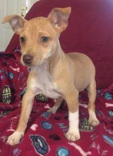 Rat Terrier PUPPY FOR SALE ADN-105357 - UKCI Registered Miniature Rat Terrier Puppies