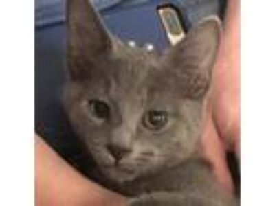 Adopt Baloo *Avail Tues 7/16 a Gray or Blue Domestic Shorthair / Domestic