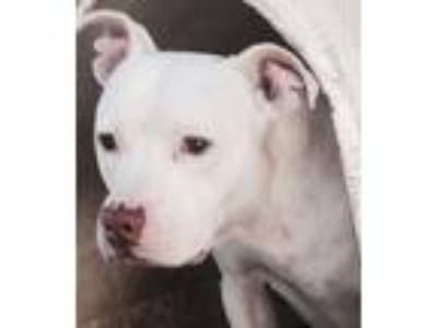 Adopt Hogan a White Pit Bull Terrier / Mixed dog in Thomasville, NC (19289825)