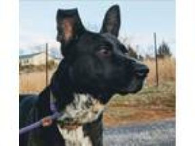 Adopt Mr. Rodgers a Australian Cattle Dog / Blue Heeler, Shepherd