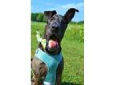 Adopt Bubbie a Great Dane, Shepherd