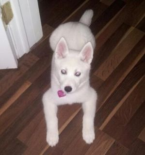 Husky puppy watertown SERIOUS INQUIRIES ONLY PLEASE
