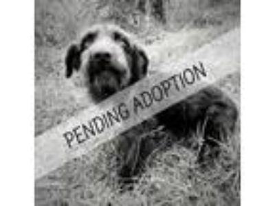 Adopt Eleanor a Wire Fox Terrier, Dachshund