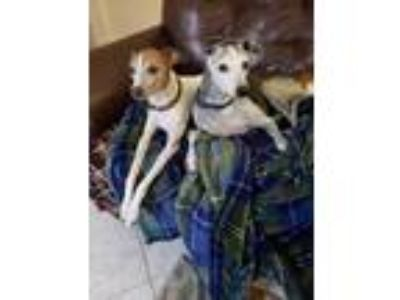 Adopt Rosie and Enzo bonded pair a Italian Greyhound