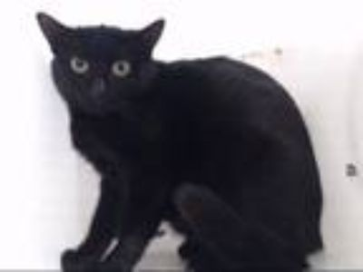 Adopt QUEEN a Domestic Short Hair