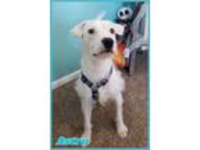 Adopt Astro a White - with Brown or Chocolate Wirehaired Fox Terrier / Mixed dog