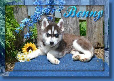 Benny AKC Male Siberian Husky