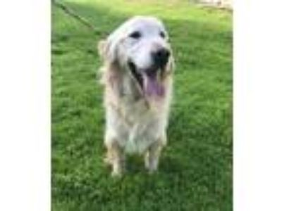 Adopt Aspen a Tan/Yellow/Fawn Golden Retriever / Mixed dog in Temecula