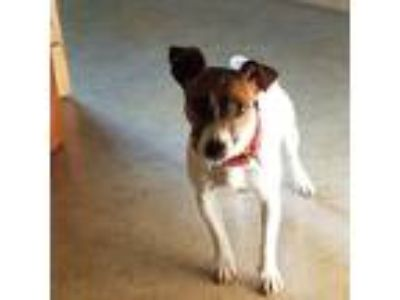 Adopt Jacqui a White - with Brown or Chocolate Jack Russell Terrier / Mixed dog