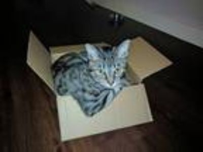 Adopt Fish a Tan or Fawn Tabby American Shorthair / Mixed cat in San Antonio