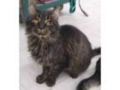 Adopt Oliver a Domestic Short Hair