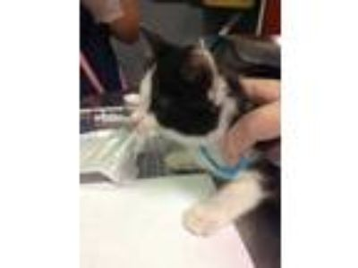 Adopt Fizzy a All Black Domestic Shorthair / Domestic Shorthair / Mixed cat in
