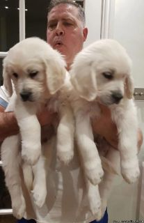 Beautiful Golden Retrieves Puppies Ready for Sale