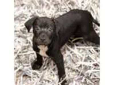 Adopt Java a Black Coonhound / Mixed dog in Atlanta, GA (25569207)