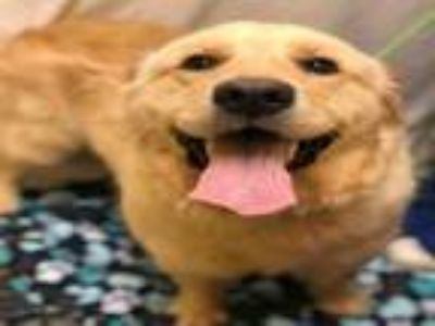 Adopt CIARA a Golden Retriever