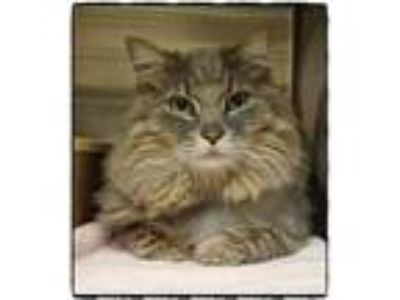 Adopt TOBY a Gray, Blue or Silver Tabby Domestic Mediumhair (medium coat) cat in