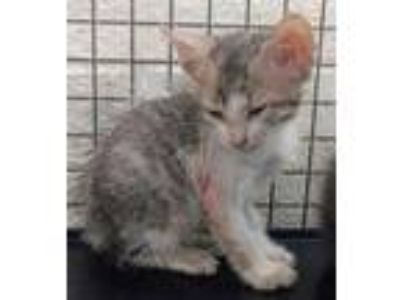 Adopt JEMIMA a Brown or Chocolate Domestic Shorthair / Domestic Shorthair /